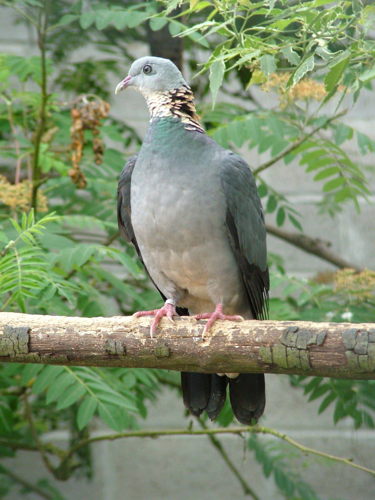 La paloma cenicienta (Columba pulchricollis) es una especie de ave ...