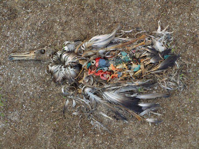 Albatros morto per aver ingerito troppi rifiuti a MidWay Island