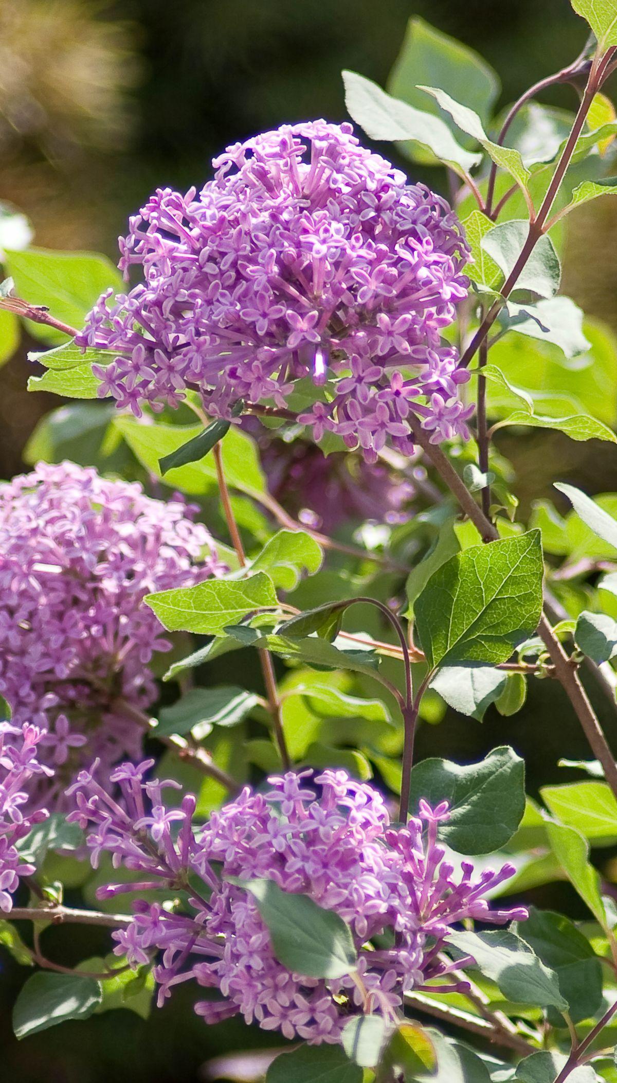 Bloomerang Purple Reblooming Lilac Fragrant Plant Flower Garden Lavender Plant