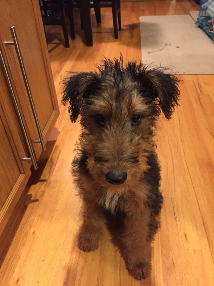 Winston at 4 months ️🐶 Airedale terrier, 4 months, Terrier