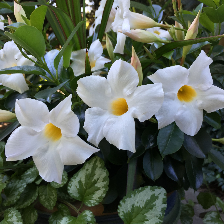 Stunning White Rio Dipladenia Blooms Introducing White Rio Blooms