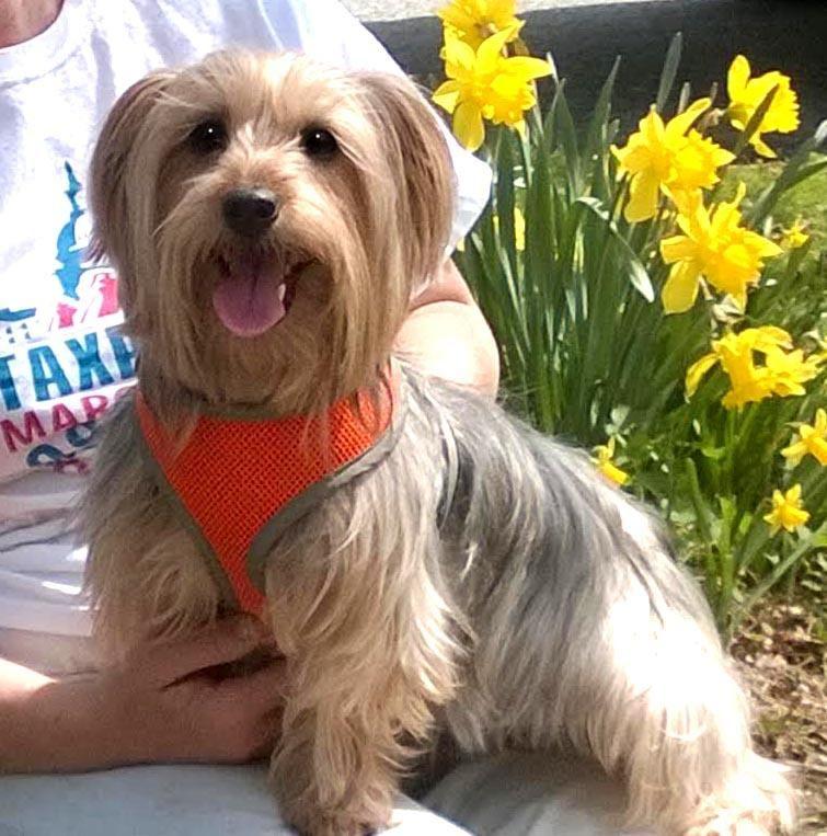 Meet Sweet Jack a Petfinder adoptable Yorkshire Terrier