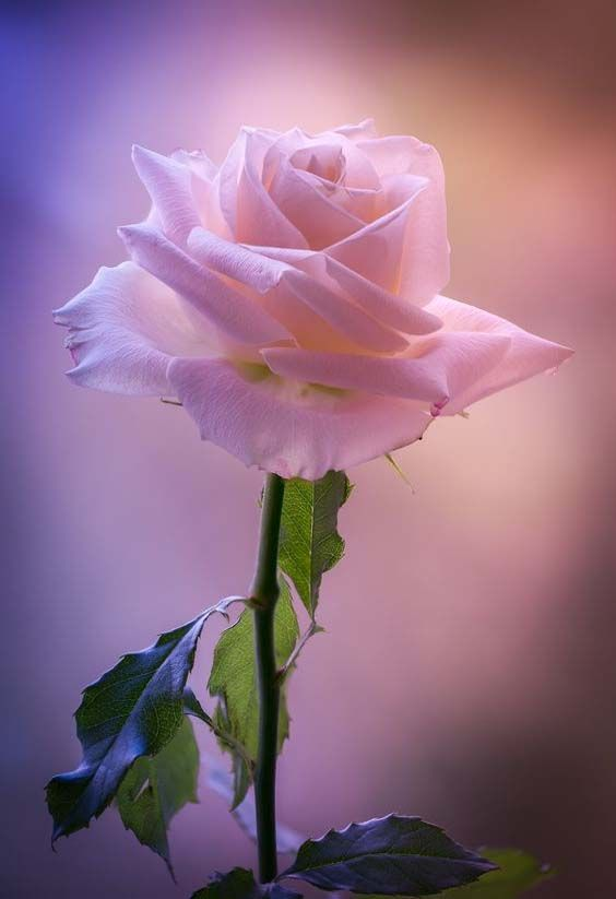 Beautiful pink rose Pink Pinterest Rosas Flores y Flor