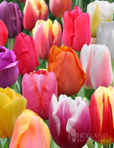 Bulk Rainbow Mixed Tulips 1000 Bulbs Tulip Seeds Bulb Flowers Tulip Bulbs
