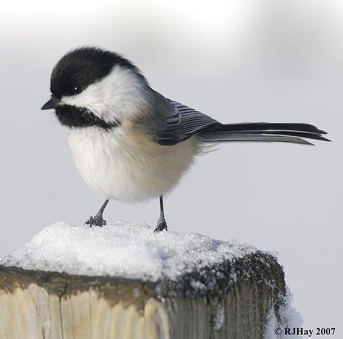 <3 you my wittle chickadee by rj hay