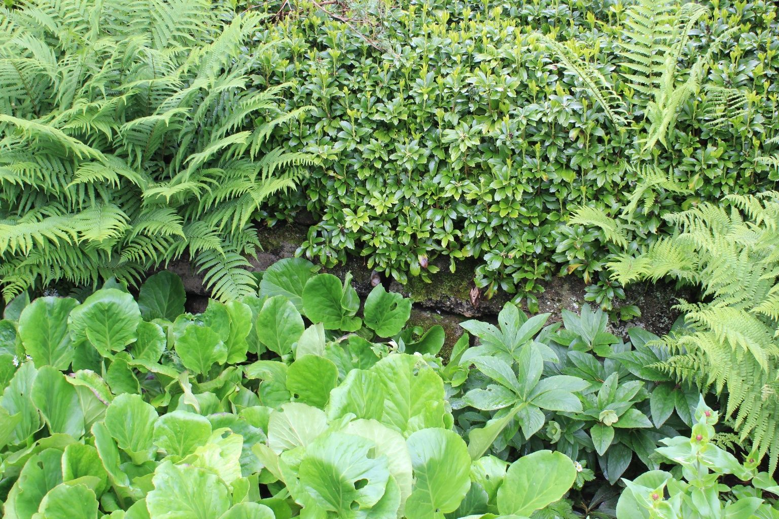 evergreen woodland garden with pachysandra fern hellebores and
