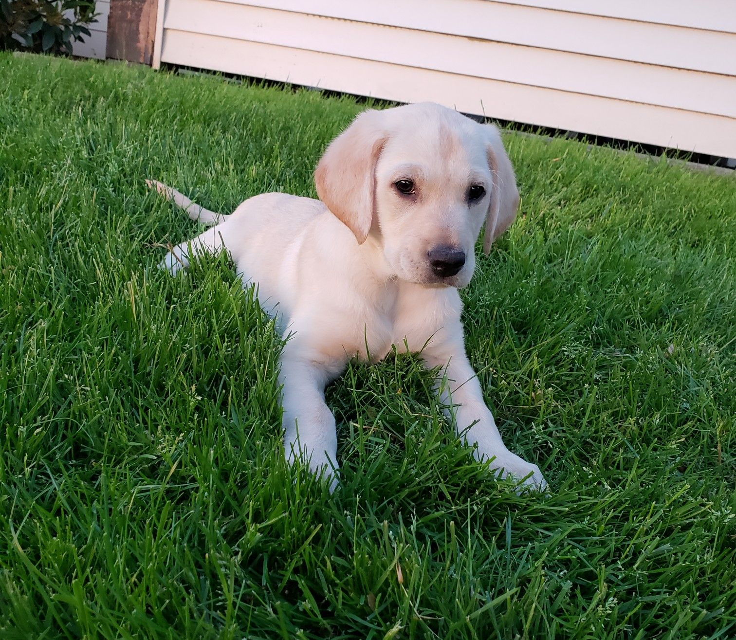 My 12 Weeks Lab Puppy Bailey Yellow Lab Puppies