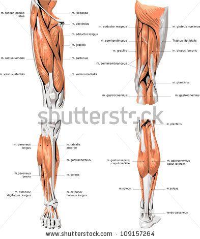 Pin de Ebby en massage exam prep | Pinterest | Anatomía