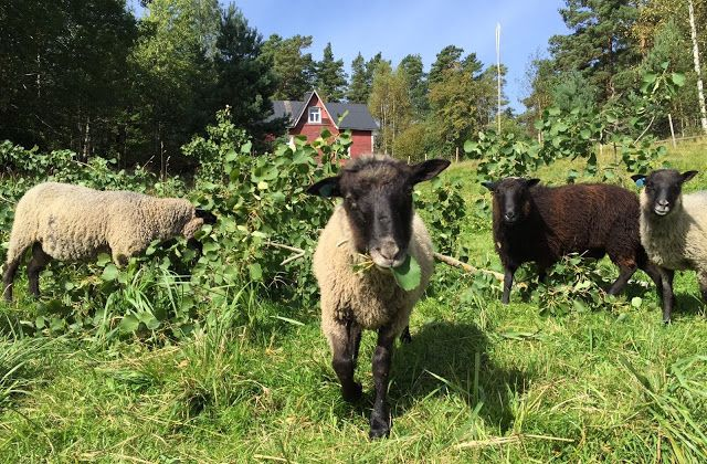 Sheep at the archipelago. Traditional Finnish Kainuunharmas sheep