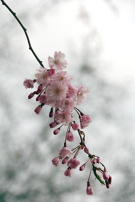 pretty cherry blossom branch in 2020   Cherry blossom ...