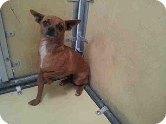 Downey Ca Chihuahua Mix Meet Liza A Dog For Adoption Pets Chihuahua Mix Animal Help