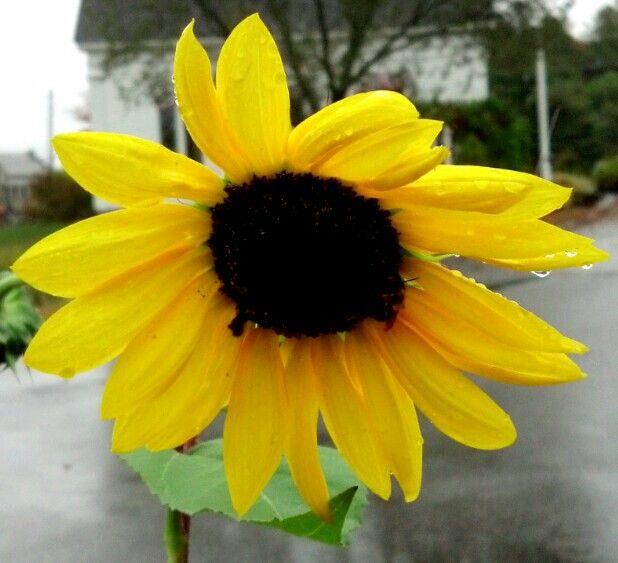 Original sunflower