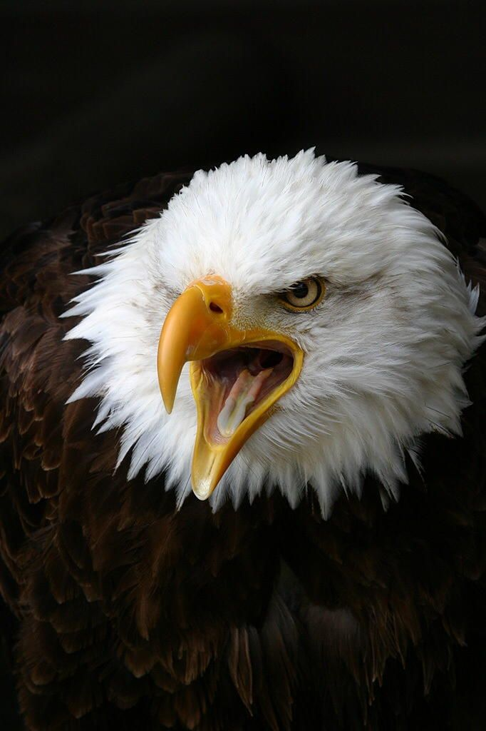 The Eagle by Paul Nagels on 500px | Birds Of Prey | Pinterest ...