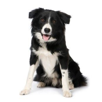 Border Collie - I had one, the best dog ever, they are incredibly smart.