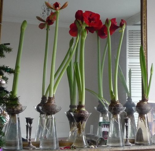 Amaryllis In Forcing Vases In Bloom For Christmas Bulbs