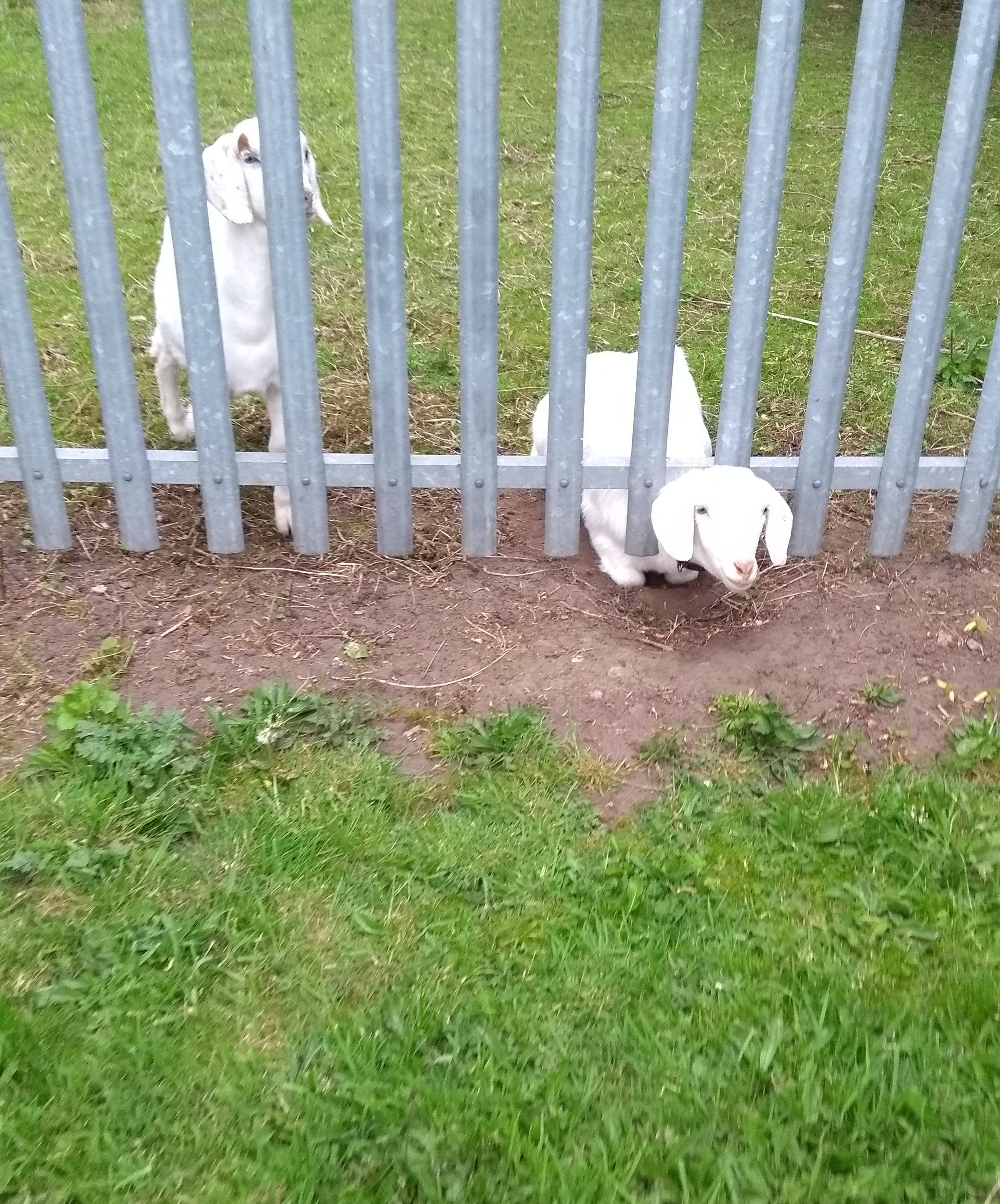 STOP KIDDING AROUND! GOAT GETS STUCK IN METAL FENCE | Small