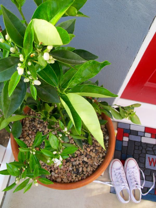 Potted Citrus Trees Are Fragrant, Vertical And Edible...practical And  Perfect For