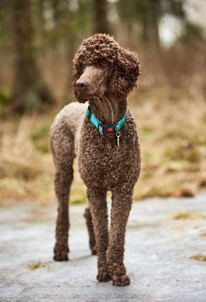 Brown poodle standing in the springtime forest ready for action. Outdoor dog portrait by Teemu Tretjakov on 500px
