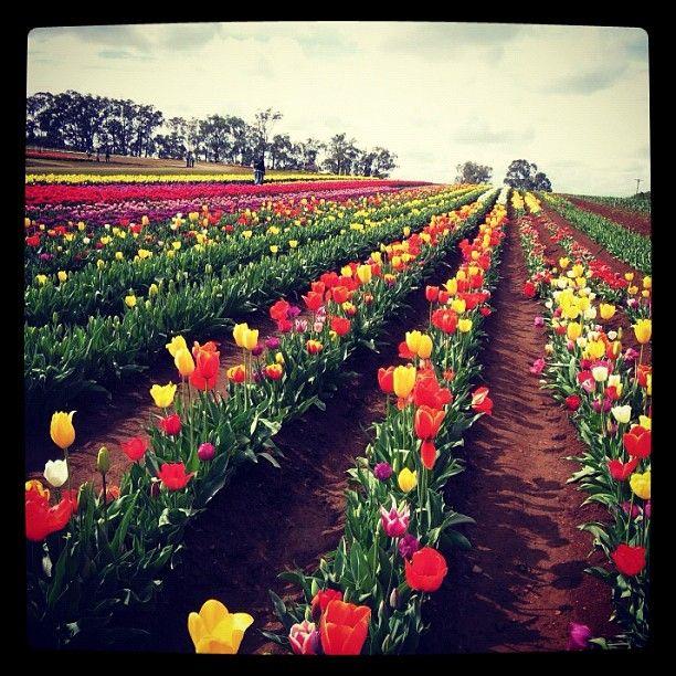 #tulip #tesselaar #festival #flower #twinkiemoment #melbourne #nature #love - @twinkiemoment- #webstagram