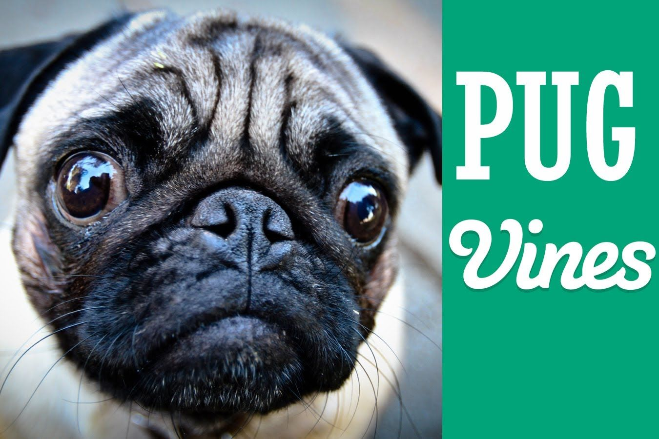 Funny Pug Vines Compilation MAY 2014 Pugs funny, Pugs