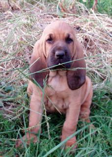 Bloodhound For Sale Hoobly Classifieds Bloodhound Puppies Bloodhound Grand Dog