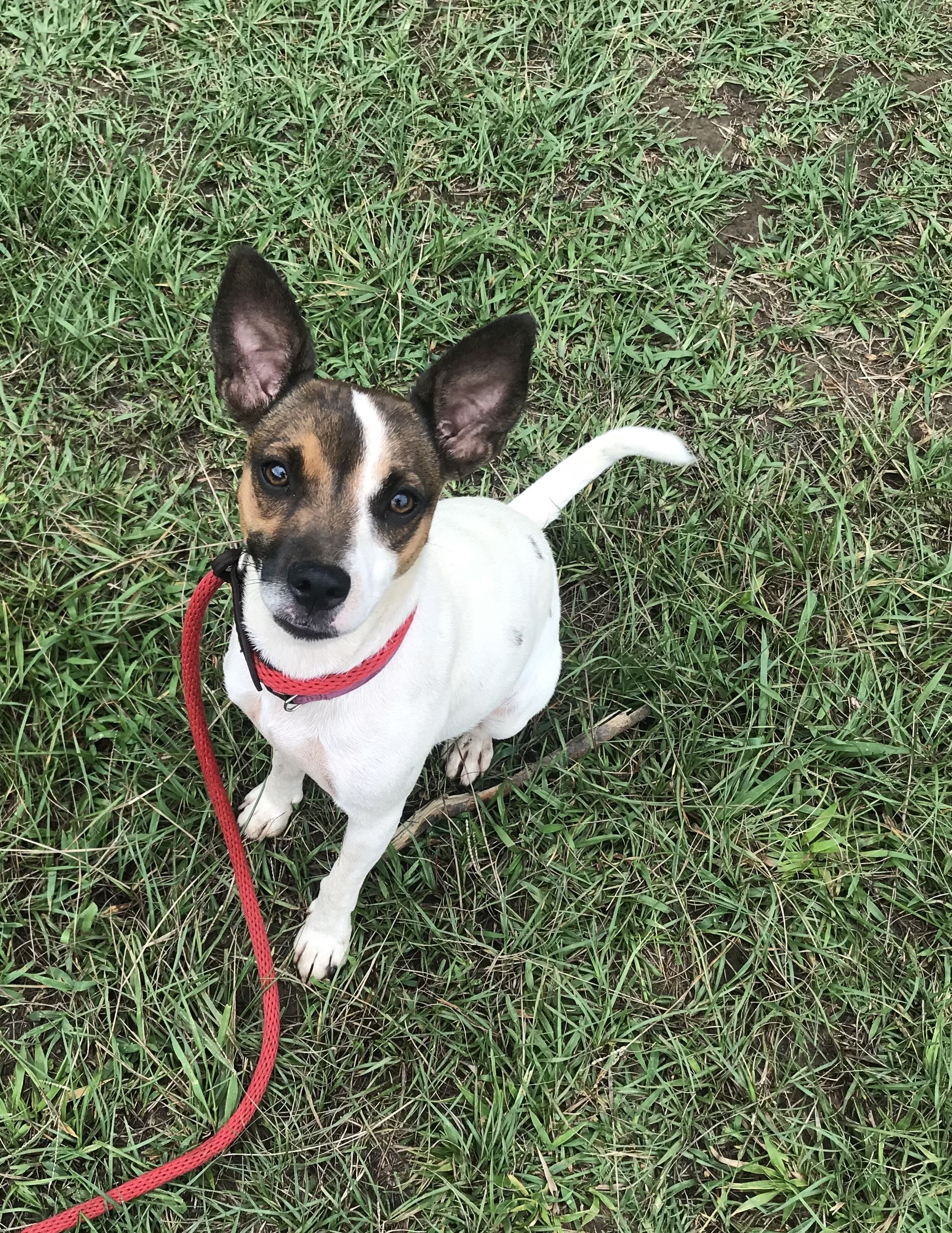 Adopt Cleo on Jack russell terrier, Jack russell, Cleo