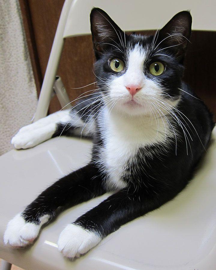 Favorite Animal Baby, my black and white tuxedo cat Cow