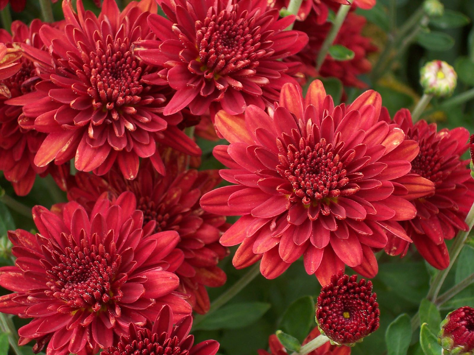 Red mums plants gardens and flowers flowers izmirmasajfo Gallery