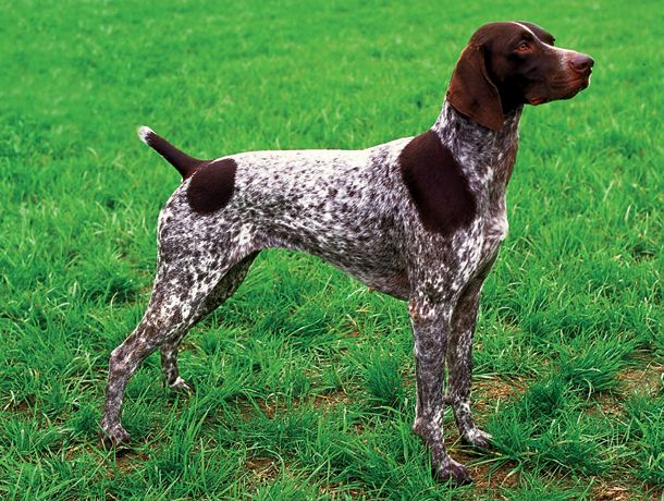 A Guide To The Non Traditional Duck Hunting Dog Breeds Pointer