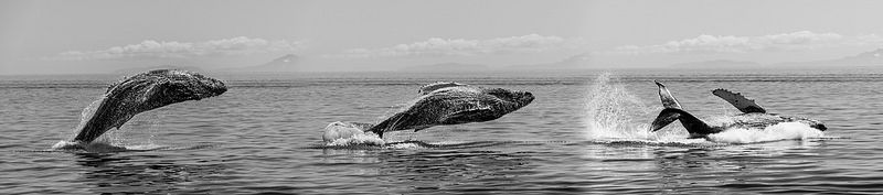 Humpback Whale Sequence Blend