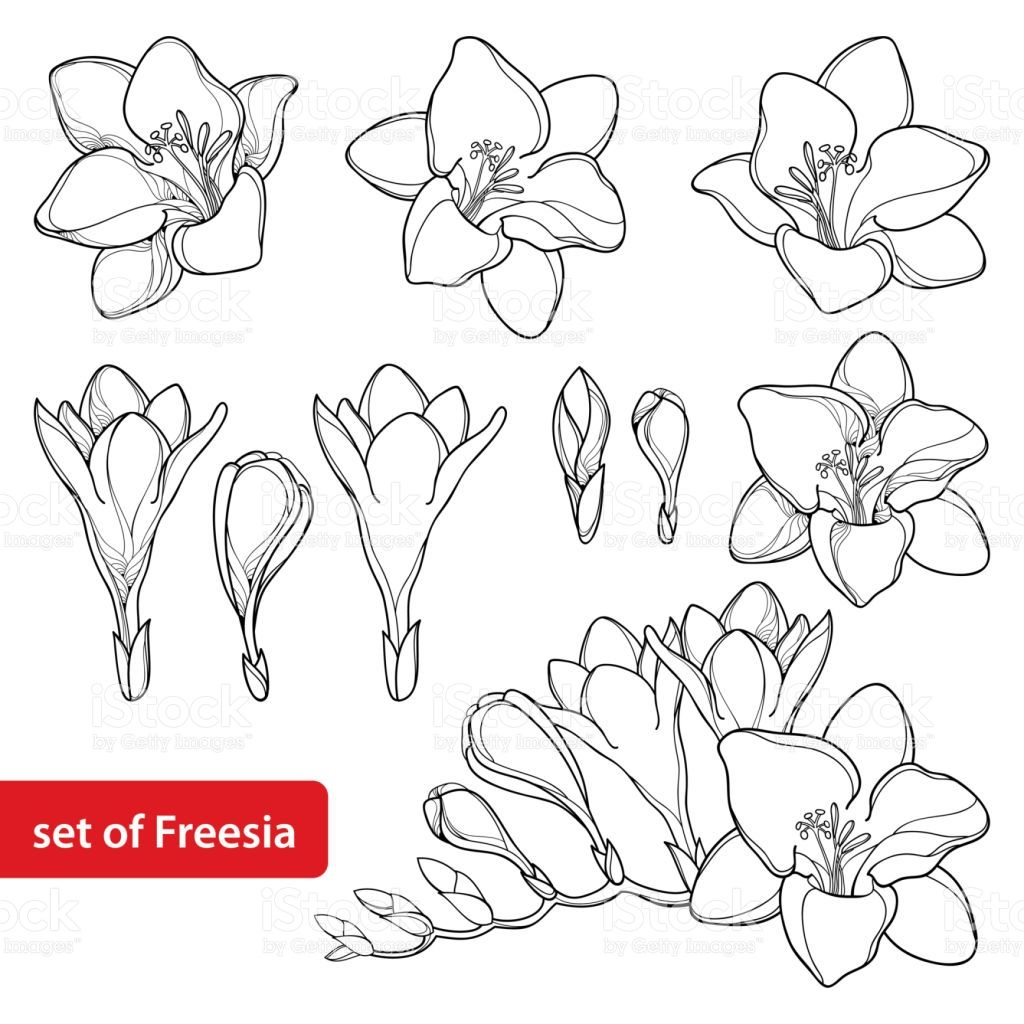 Billedresultat For Freesia Line Drawing Flower Drawing Embrodiery Designs Drawings