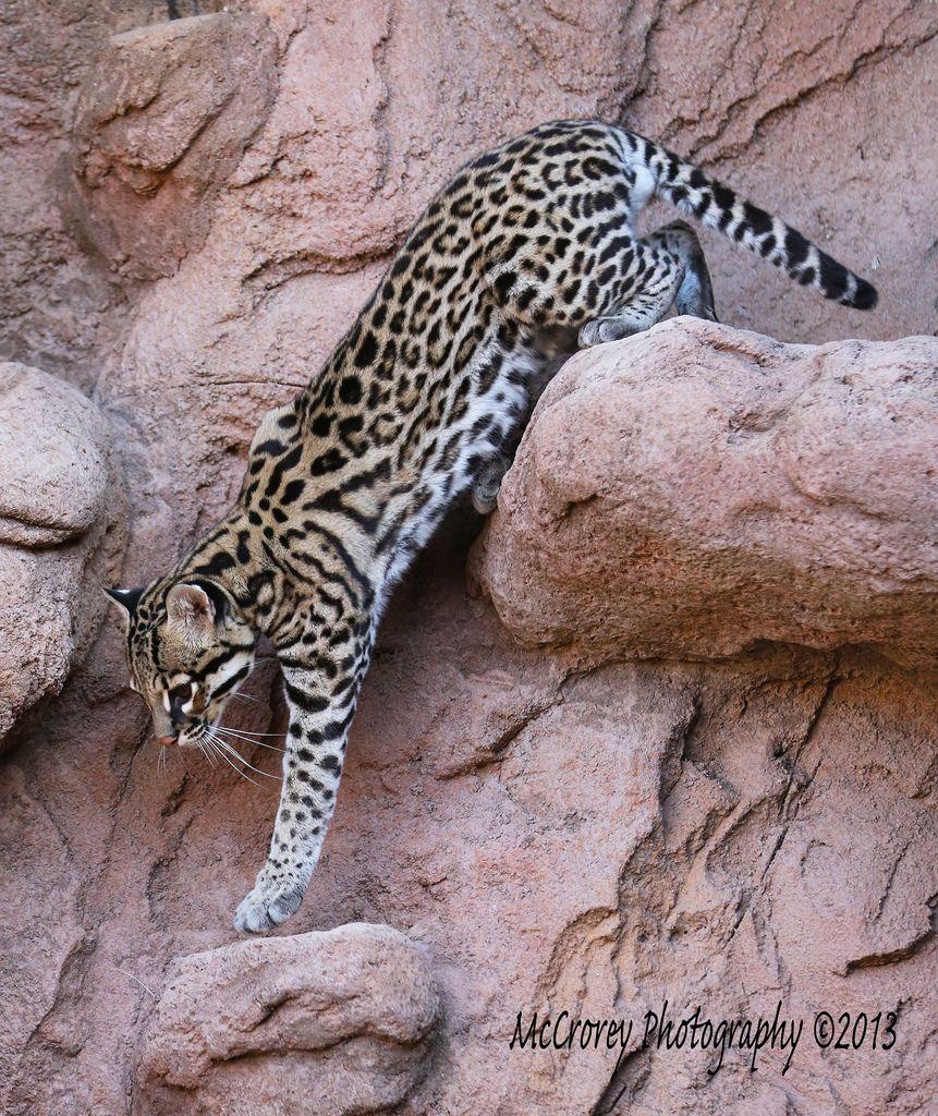Big Cats, Small Wild Cats