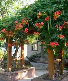 Tupmet Vine Trellis Trumpet Vine Beautiful Gardens Climbing Flowers Climbing Plants