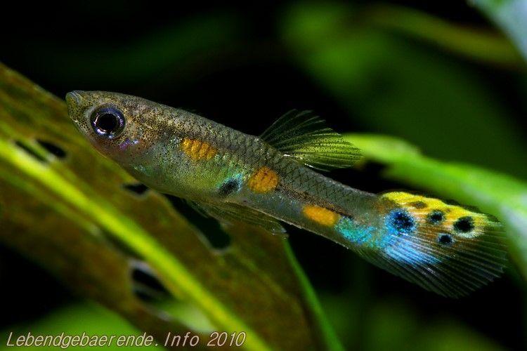 Poecilia Obscura Oropouche Elkeweiand De Zierfische Fische