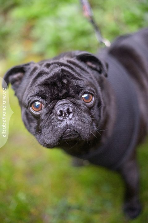Time For Another Rescue Pawtrait Meet Rocco An Adorable Pug
