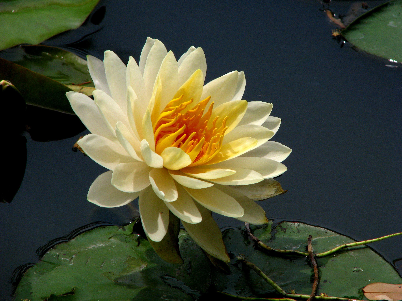 Yellow Lotus Google Search Fabulous Flowers Pinterest Lotus
