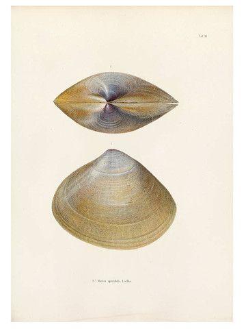 """A calmly clam shell from from Karl Emil Lischke's beautiful Japanische Meeres-Conchylien. Ein Beitrag zur Kentniss der Mollusken Japan's mit besonderer Rücksicht auf die geographische Verbreitung derselben. (1869-1874). Reproduction print, 12""""x16"""""""