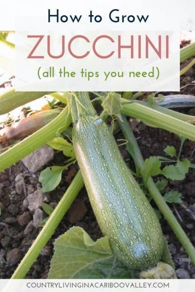 How to Grow Zucchini is part of Growing zucchini, Zucchini plants, Hydroponic gardening, Zucchini, Growing vegetables, Gardening for beginners - You only need a couple of Zucchini plants to get great harvests for your meals  Zucchini is easy to grow; pick them small  Here's how to grow zucchini