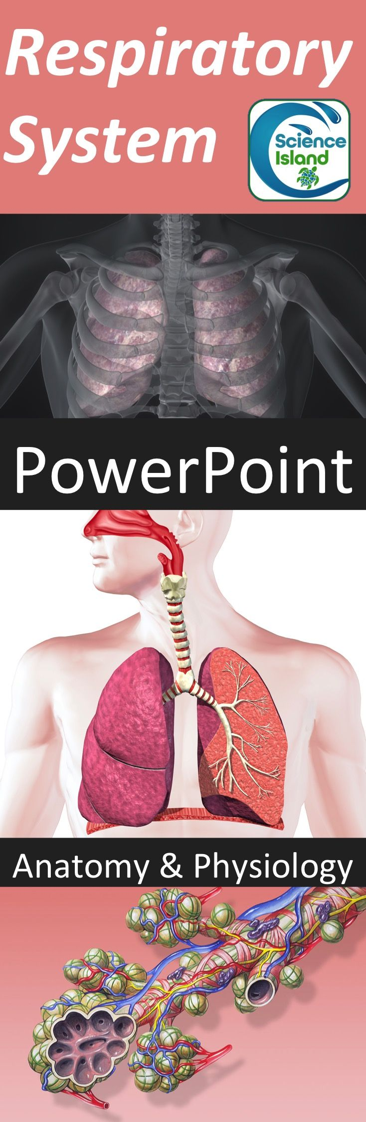 Respiratory System PowerPoint and Notes | Respiratory system, High ...