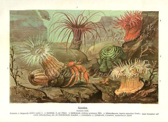 Antique Print 1900 Marine Life Chart SEA ANEMONES Water Beautiful German Wall Art Vintage Color