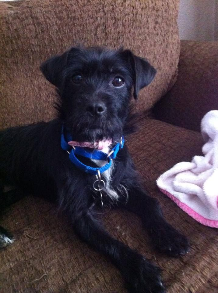 This Golden Girl Is A Two Year Old Black Wire Haired Terrier Mix
