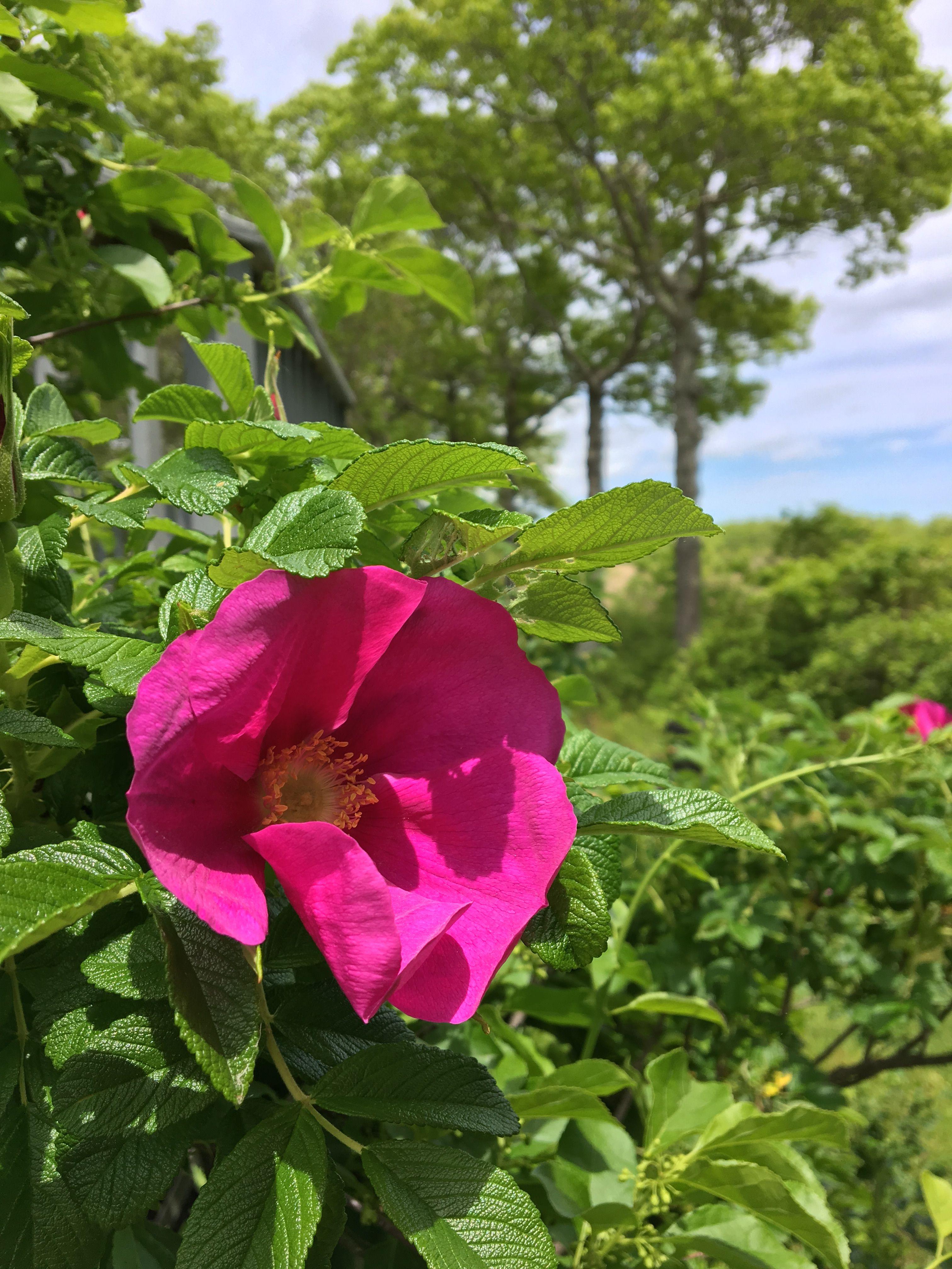 Rosa rugosa beach rose in bloom the house on the marsh pinterest