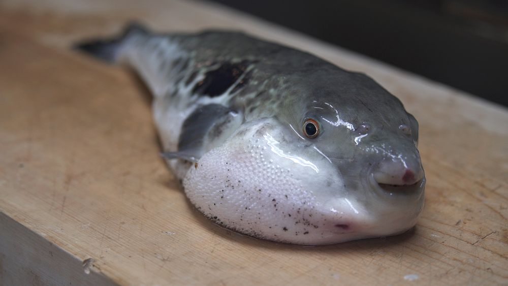 To eat fugu is to put your life on the line that 39 s why for Poisonous fish to eat