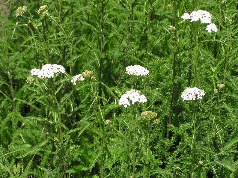 Common Yarrow Achillea Millefolium View This Specimen In The Gardens At Old Salem Or Purchase One For Your Garden In Heirlooms Flowers Perennials Plant Sale