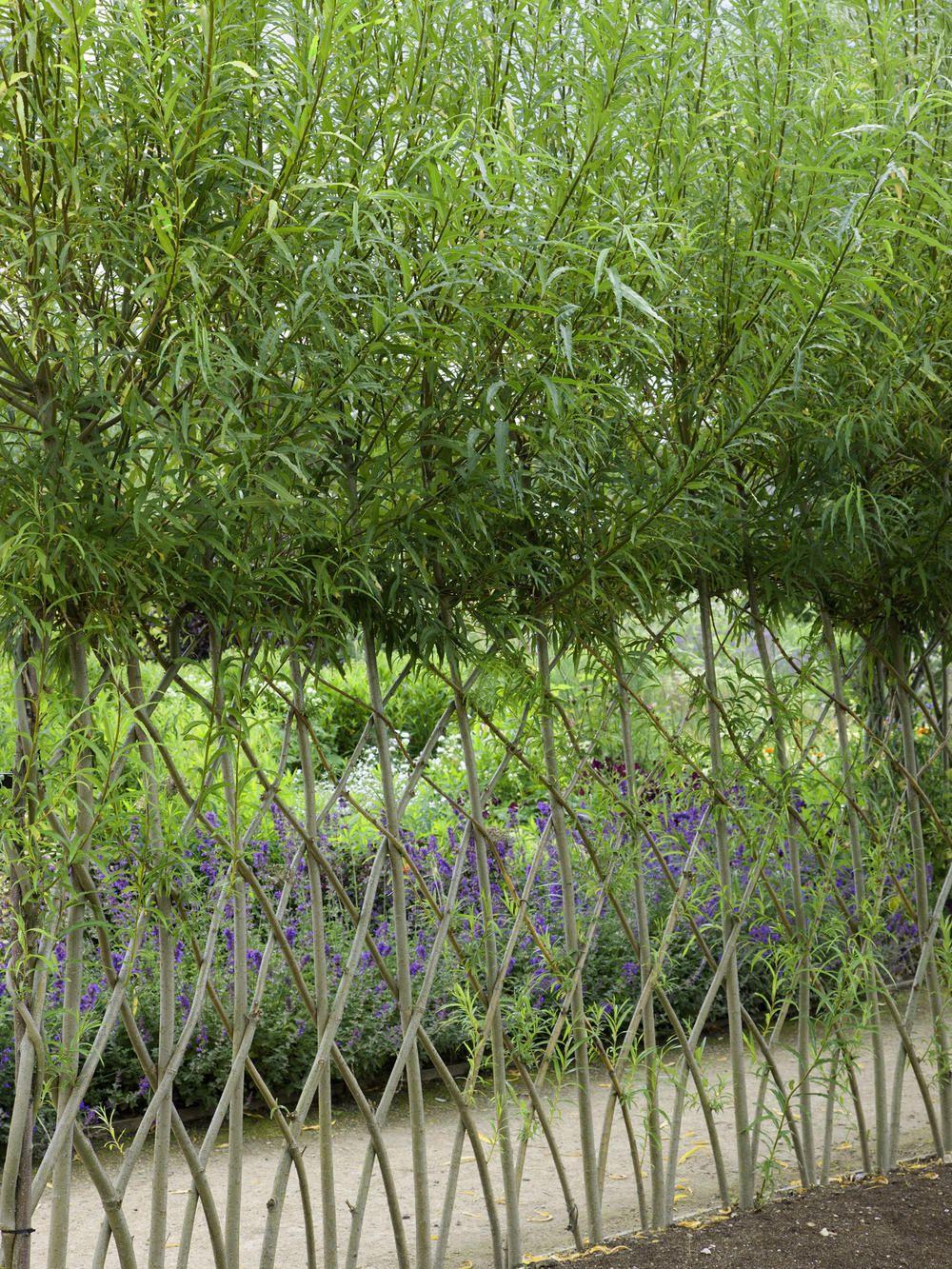 Korbweide Korbweide Vorgarten Pflanzen Weidenzaun
