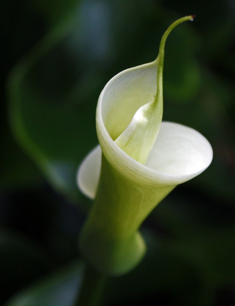 White Calla Lily Wedding Flower Names Pinterest Calla Lilies