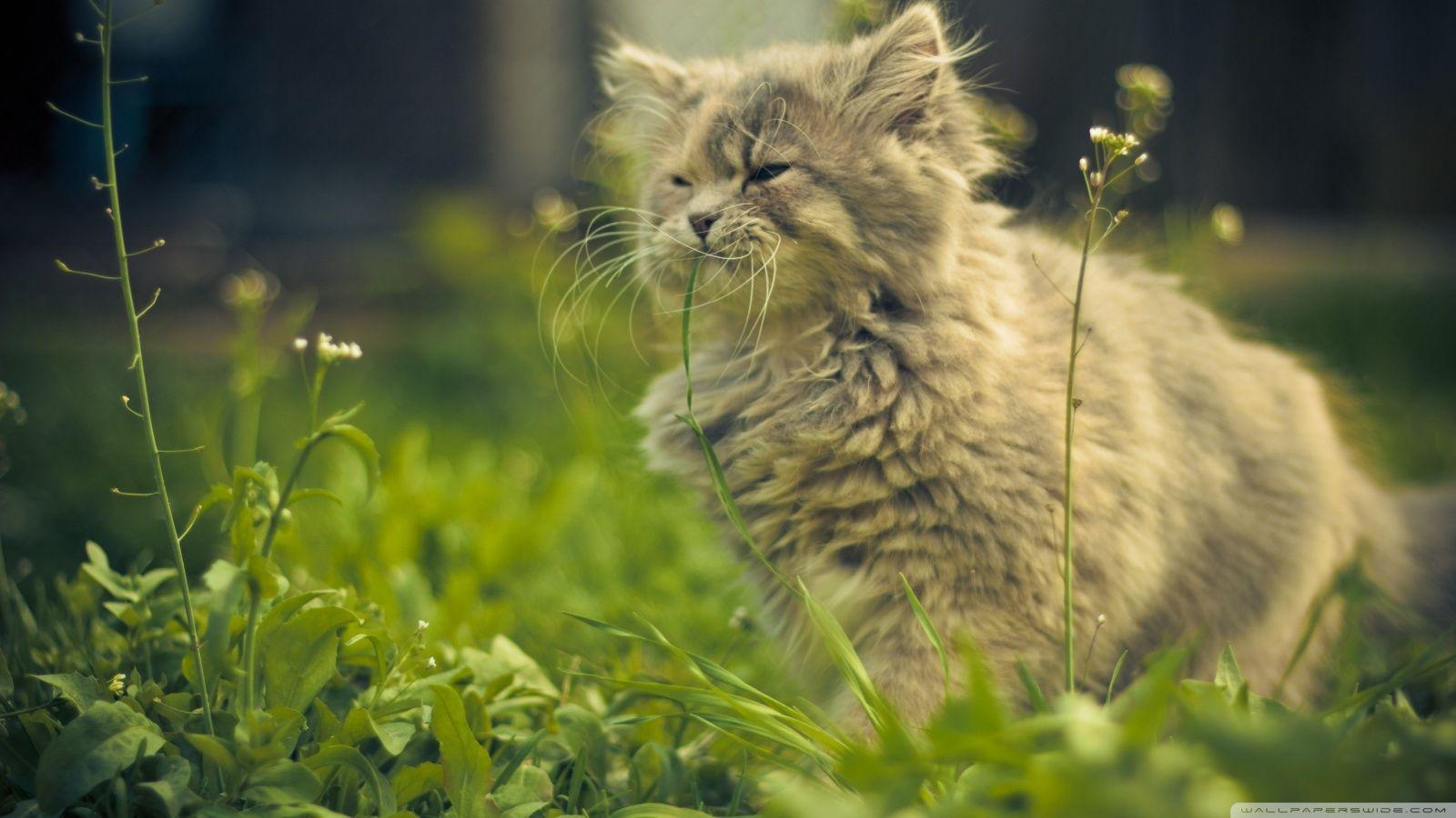 Cat Eating Grass Wallpaper 1600x900 Cat Eating Grass Wallpaper 1600x900 Jpg Photos Fond Ecran Hd Chat