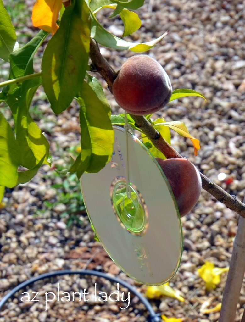 A shiny solution to deter birds from fruit trees fruit