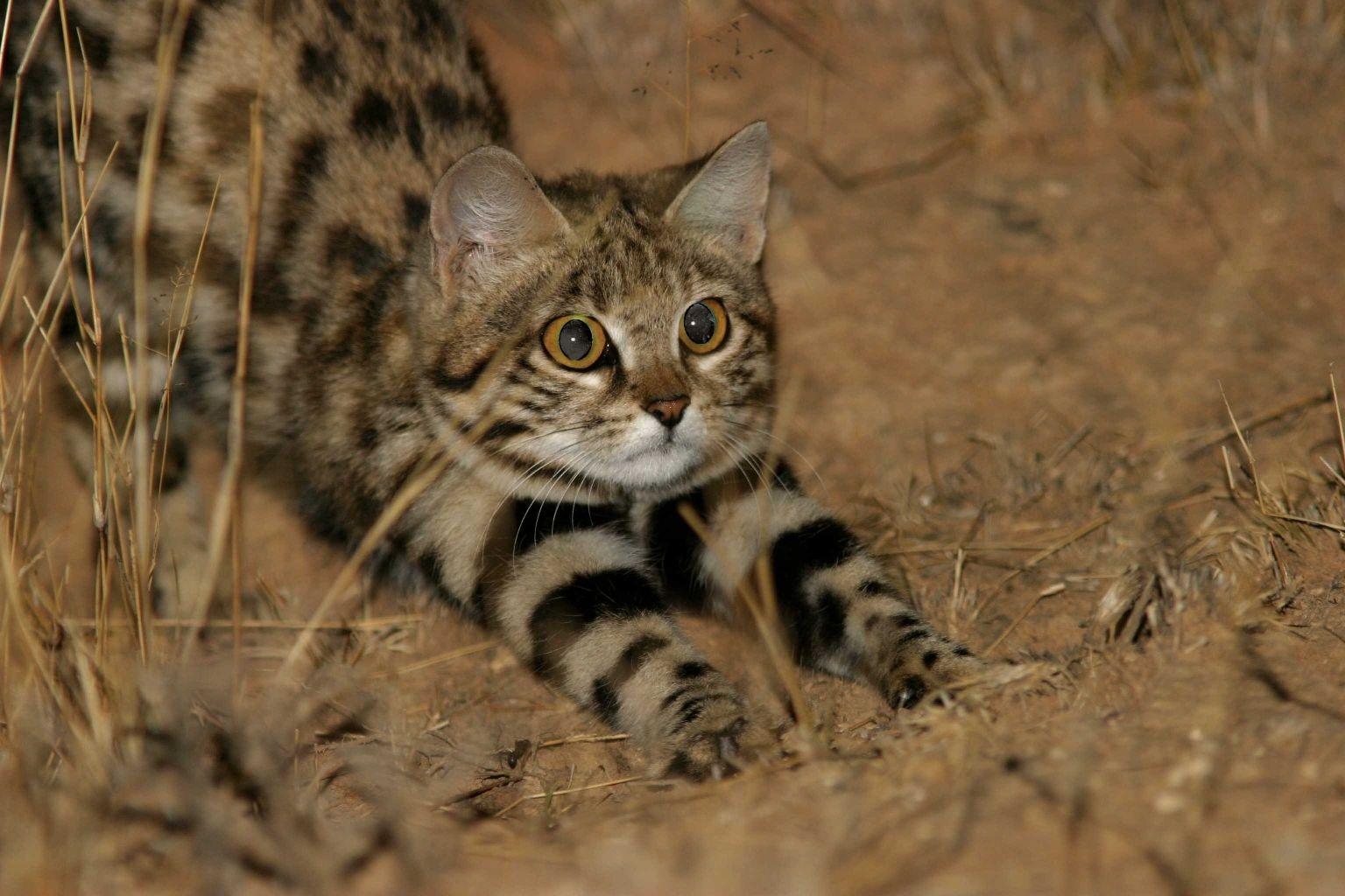 toy leopard cat