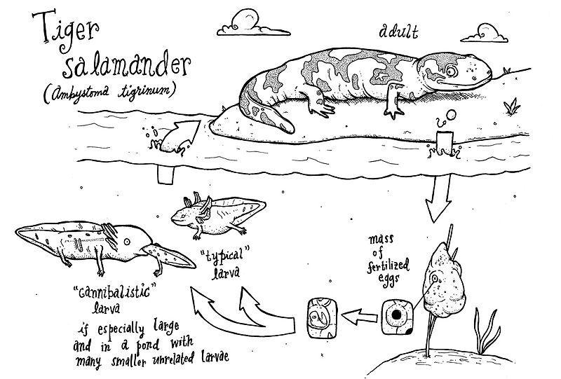Just a really cute diagram of the tiger salamander life